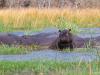 2018 | Moremi, Dombo Hippo Pool, Botswana